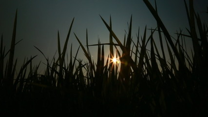 The sun flare through the grass dark 2