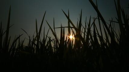 The sun flare through the grass dark 2
