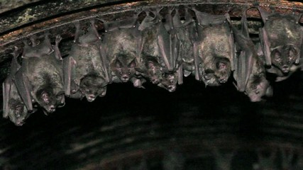 Bats roosting in a road culvert in the Ecuadorian Amazon