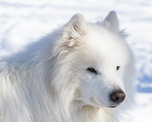 Winter portrait of a white dog of the Samoyed