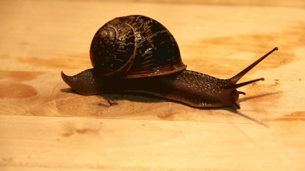 Big garden snail  on a wooden surface