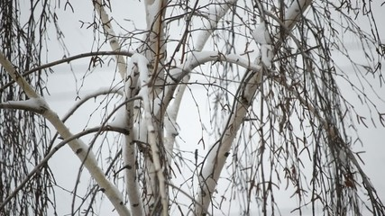 Close-up of snow falling on background of leafless birch tree