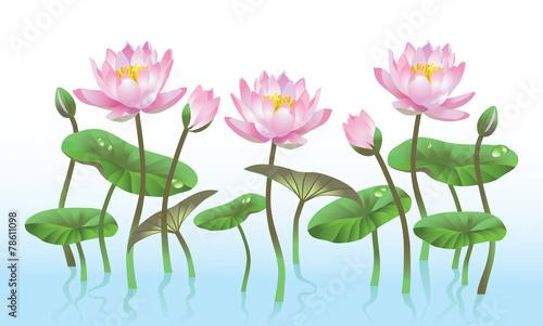 pink lotus flower - 78611098