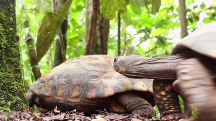 Yellow-footed tortoises (Chelonoidis denticulata) mating