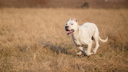 Female Dogo Argentino in run