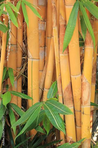 In de dag Bamboo Golden bamboo