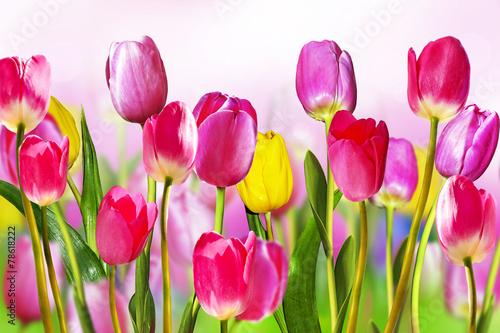 Zdjęcia na płótnie, fototapety na wymiar, obrazy na ścianę : flowers tulips