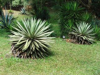 Agaves in botanical garden