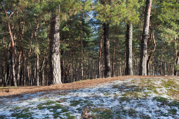 Melting snow on clearing in pine forest at early spring