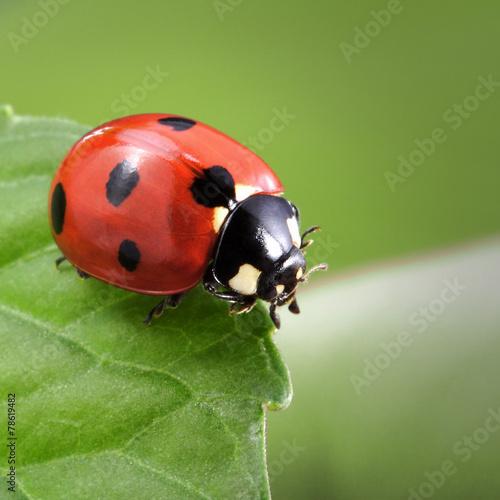ladybug on leaf - 78619482