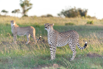 The two cheetahs