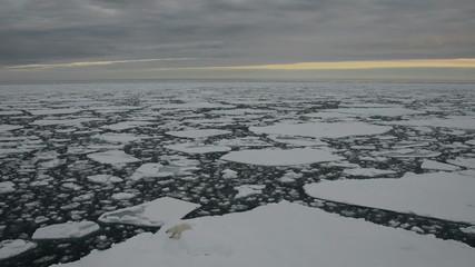 Polar bear walking on an ice floe