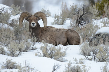 Mouflon lying in snow