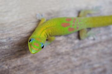 Gold Dust Day gecko-Phelsuma laticauda. Hawaii.