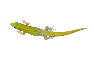 Gold Dust Day gecko-Phelsuma laticauda, on white. Hawaii.