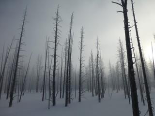Dead trees in snow