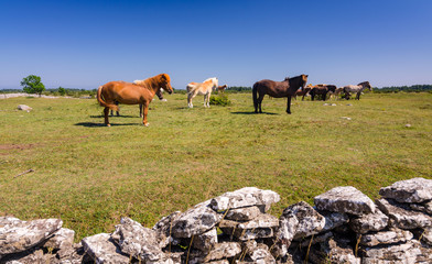 Horse farm on Oland island