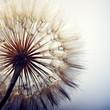 Leinwanddruck Bild - big dandelion on a blue background
