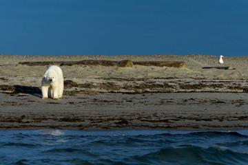 Polar bear on a beach