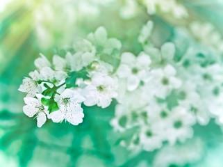 Soft focus on cherry  flowering - blooming