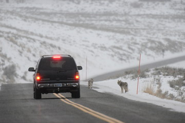 Coyote and car on road in winter