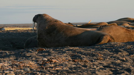 Walrus on a Spitzberg beach