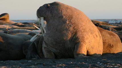 Walrus on a Spitzberg beach