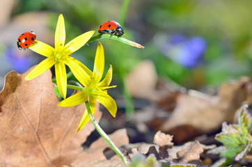 Ladybugs (Coccinella) on yellow flower