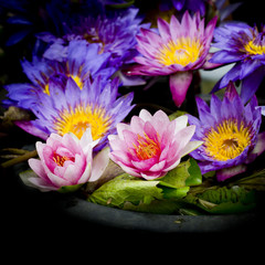 Lotus multicolored. Many colorful lotus flowers in earthen basin