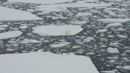 Polar bear lying on ice floe of the pack