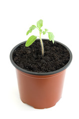 Young seedling of cherry tomato in pot over white