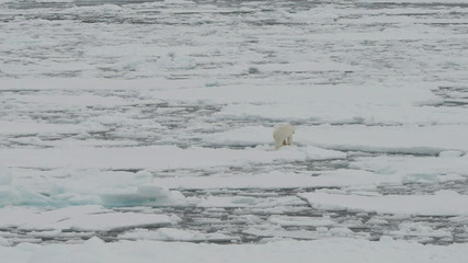 Polar bear walking on ice floes of the pack