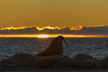 Walruses at sunset