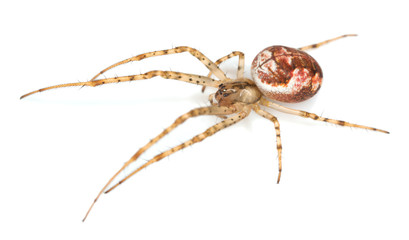 Metellina spider isolated on white background