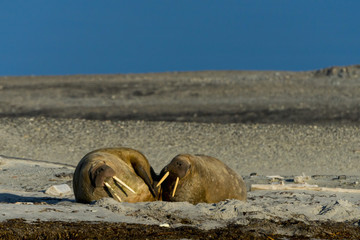 Two walruses