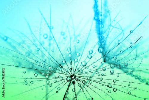 dandelion seeds © Alekss