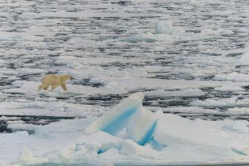 Polar bear on the pack