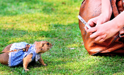 Prairie Dogs confronted with a smartphone .