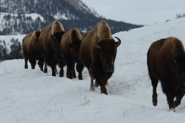 Bison in a row in snow