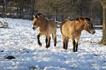 Zwei mongolische Wildpferde im Winter