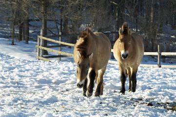 Zwei  mongolische Wildpferde im Schnee