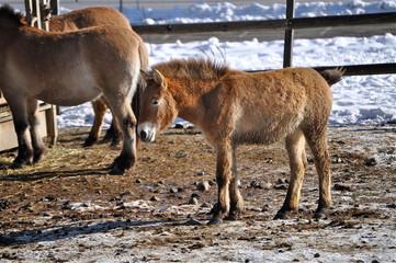 Mongolisches Wildpferd Fohlen