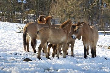 Mongolische Herde Urwildpferde