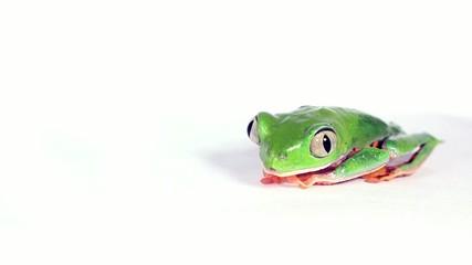 Tiger-striped Leaf Frog (Phyllomedusa tomopterna)