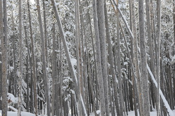 Frost-covered tree trunks