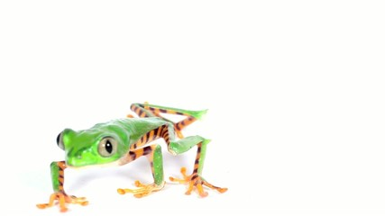 Tiger-striped Leaf Frog (Phyllomedusa tomopterna)