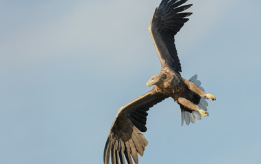 Hunting Sea Eagle