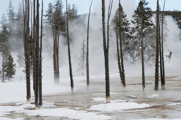 Dead trees in a geyser basin