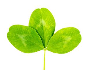 clover green leaf
