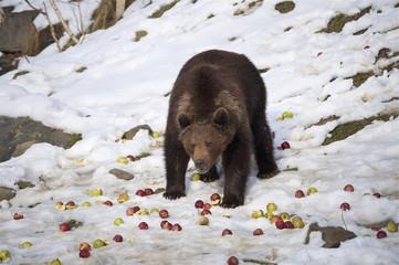 Bär im Schnee frisst Äpfel